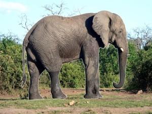 surrounded elephant